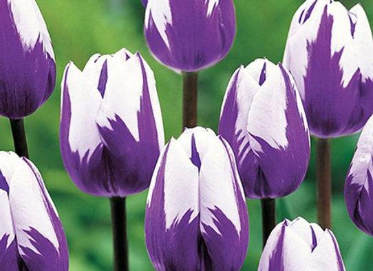 Bulbes de tulipe - Blueberry Ripple