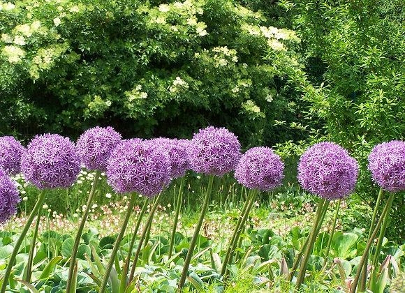 Bulbes d'allium giganteum