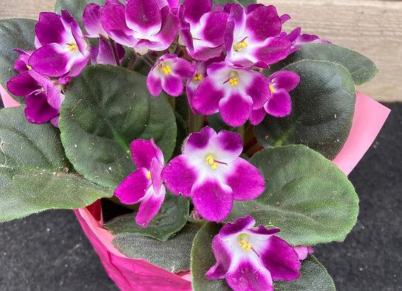 Violette africaine rose cœur jaune  (pot 4'')