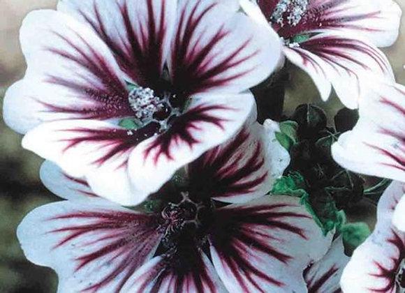 Malva zébrina (semences)