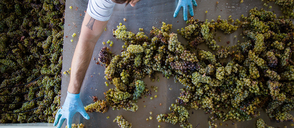 A Look at the Hands of Harvest- Calaveras Crush 2018