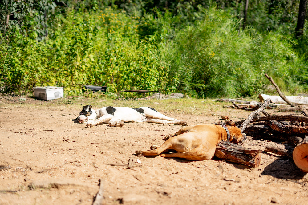 Exhausted Camp Dogs