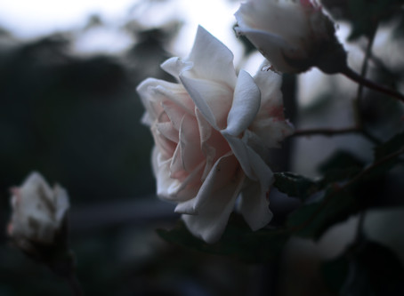 The Beauty of Rose