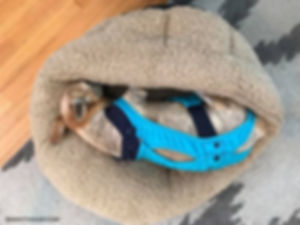 chihuahua living with old dog incontinence