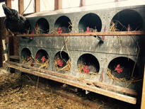 Chickens in Nesting Boxes