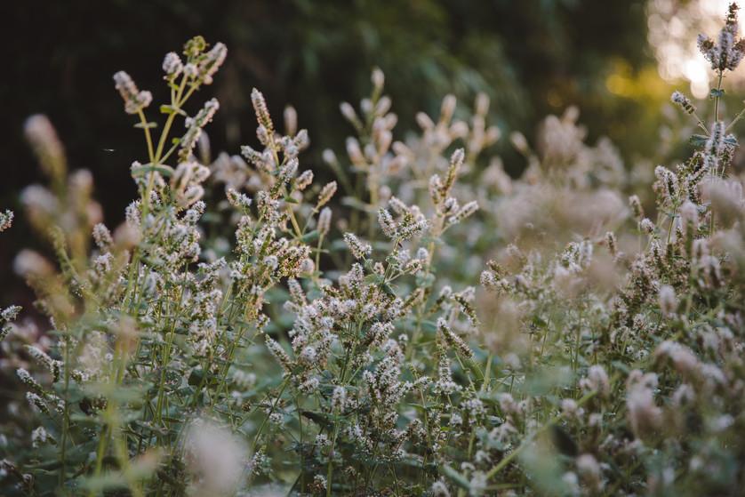 mint_flowering-1.jpg