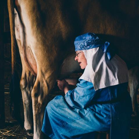 Benedictine nun milking cow on Shaw Island, Washington