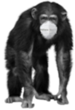 CHIMP MONKEY COVID 2.png