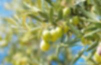 olive-700x449.jpg