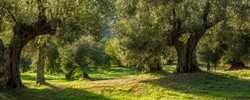 Ancient Olives