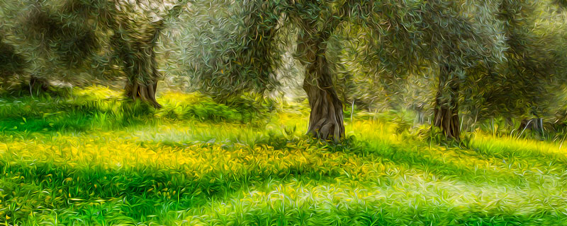 Spring Olive Field