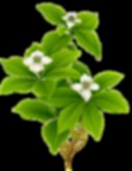 kisspng-botanical-illustration-watercolo