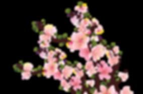 kisspng-common-plum-plum-blossom-pink-fl