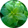 Lemon-Balm-Oil-18.01.2016-150x150.png