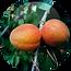 Apricot-Kernel-Oil-Prunus-Armeniaca-150x