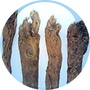 Chinese-Saphora-Root-18.01.2016-150x150.