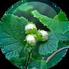 Hazelnut-seed-Oil-Corylus-Avellana.png