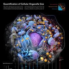 Medical illustration | Quatification of Cellular Organelle Size
