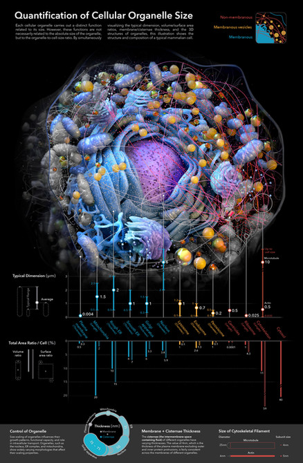 Quatification of Cellular Organelle Size