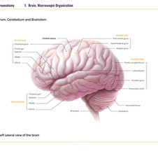 Medical illustration | Macroscopic Organization of Brain