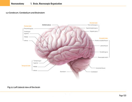 Macroscopic Organization of Brain