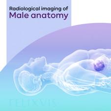 Medical illustration | Radiological imaging of male anatomy