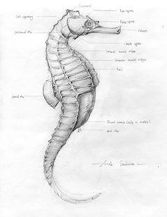 seahorse sketch.modified.jpg