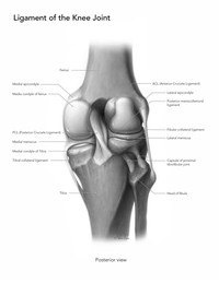 Ligament of the Knee Joint