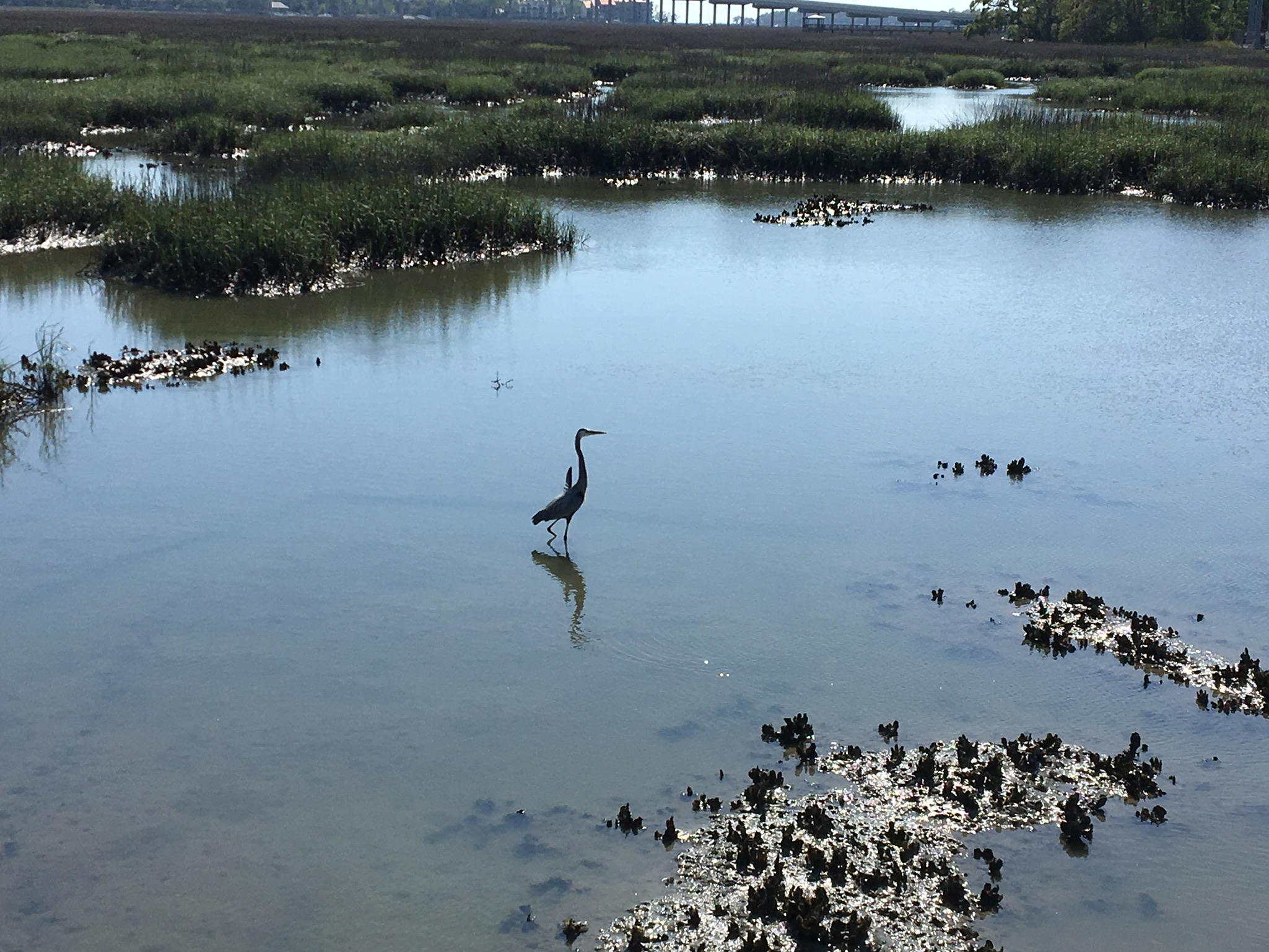 Heron in Bogue Sound