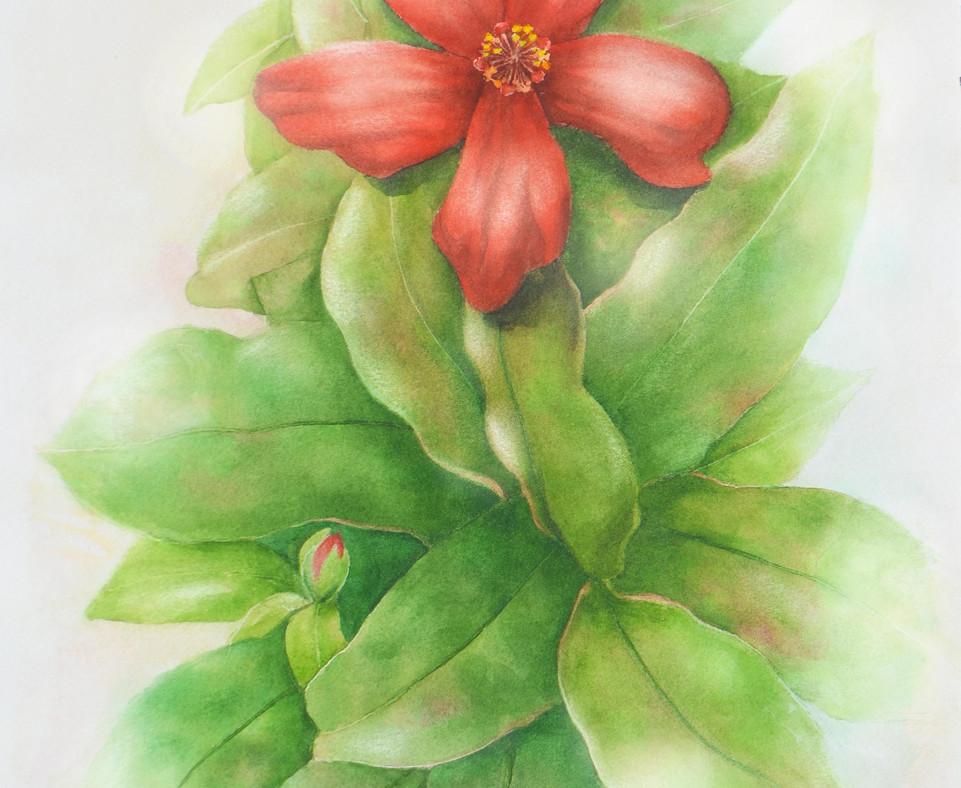 Hawaii Hibiscus.jpg