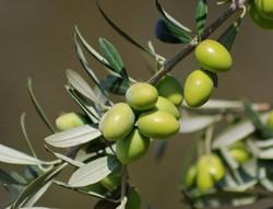 Olives_edited