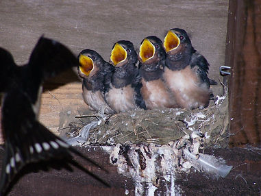 swallows nesting