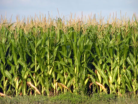 corn-2-1499929.jpg