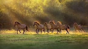 Horse herd run in sunlightwith dust at summer pasture.jpg