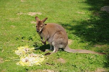 wallaby.jpg