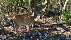 Floride, Les animaux sauvages des Keys après Irma