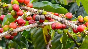 Jamaïque - De Kingston à Oracabessa via les Blue Mountains - Éloge au café et à J.Bond