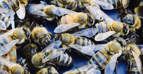 Québec - Saint-Benoit, Mirabel, Mariage de passion avec les abeilles