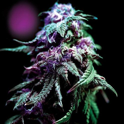Cronic Purple Fall