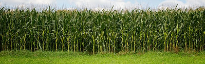 Corn field against cloudy sky with copy