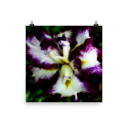 Japanese Iris Print