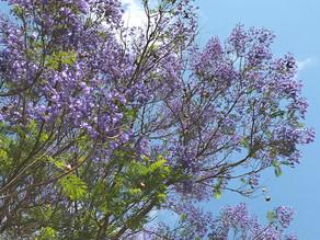 The Jacaranda tree colour palette