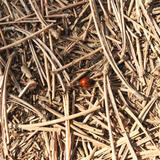 Ladybird on straw