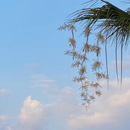 Blossoming Palm tree