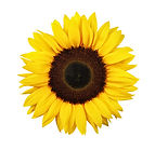 Sunflower isolated on white background.j
