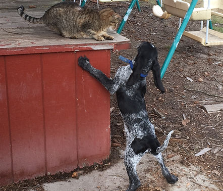Bluetick Hound Puppy