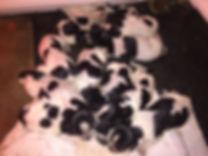Bluetick Puppy Pile