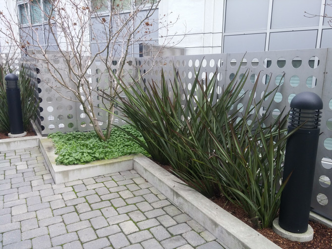 How to care for Flax (Phormium)