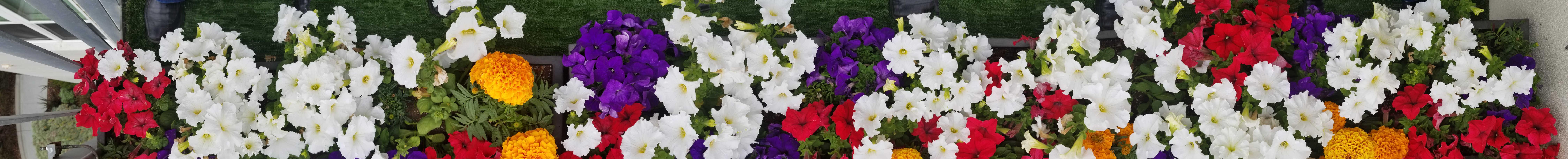 Petunias and Marigolds resized
