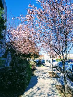 Plum Trees in bloom